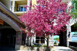 Cheery Blossom Tree
