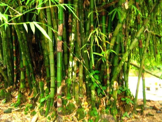 Cora bamboo