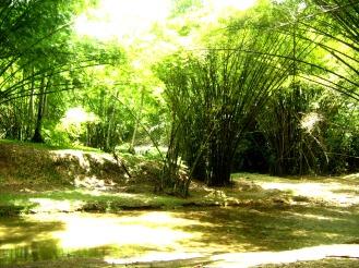 Bamboo at Cora